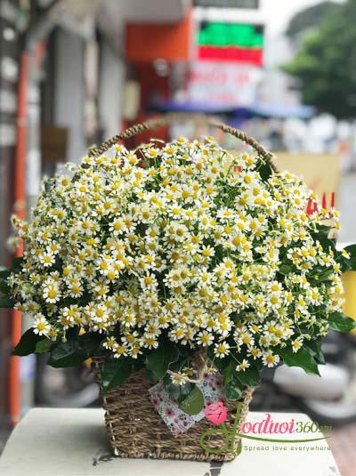 Giỏ hoa cúc tana - Nét đẹp đồng nội
