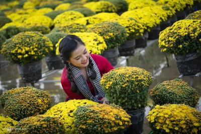 Hoa cúc mâm xôi và ý nghĩa màu sắc rực rỡ